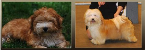 havanese color change το προφίλ των havanese dogpark gr