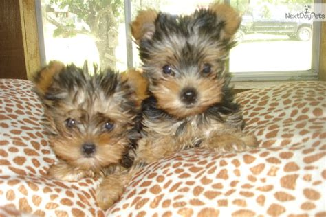 yorkie puppies houston terrier yorkie puppy for sale near houston 0cd00b06 b461