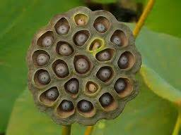 Lotus Breast Hoax Scam Quot And Abnormal Creatures Growing On