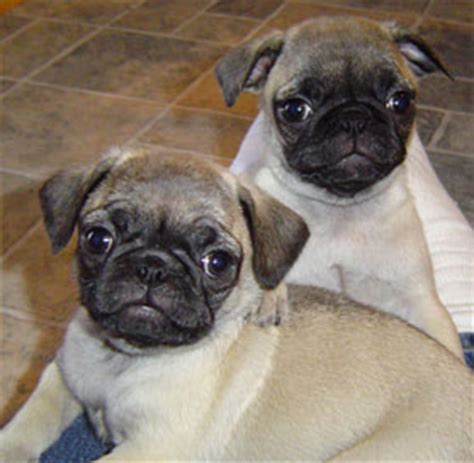 pug puppies for sale in minnesota puppy paws 4 you puppies for sale mn puppies for sale