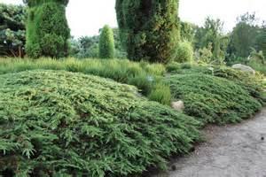 Green Carpet Plant Juniperus Communis Green Carpet Garden In Luogosanto