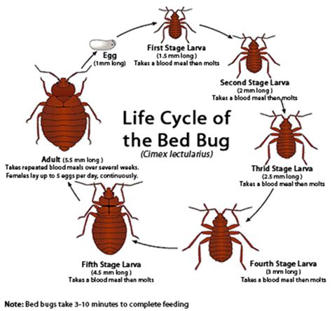 bed bug stages bed bug life cycle life stages of bed bugs