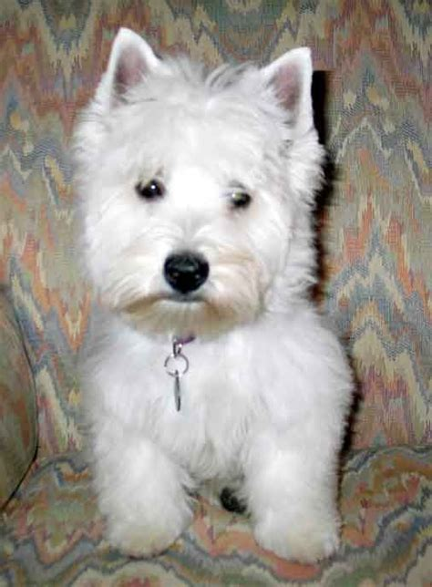 Westie Shedding by Photos Of Westie Grooming Styles Photos Of Westie