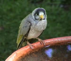 australian birds backyard birds
