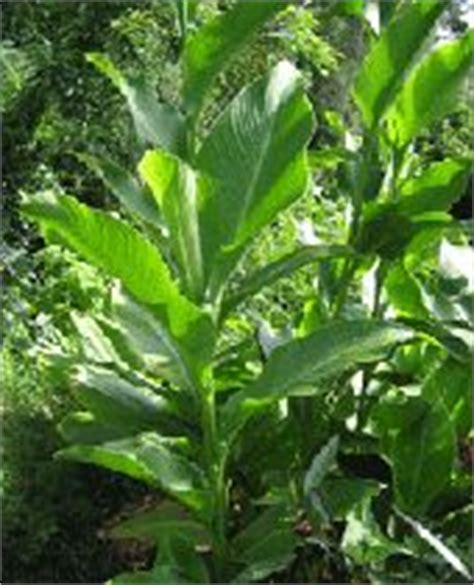 edible starchy tropical plant tropical permaculture on permaculture