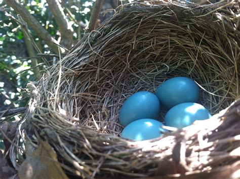 take time to pause and enjoy nature robin eggs and