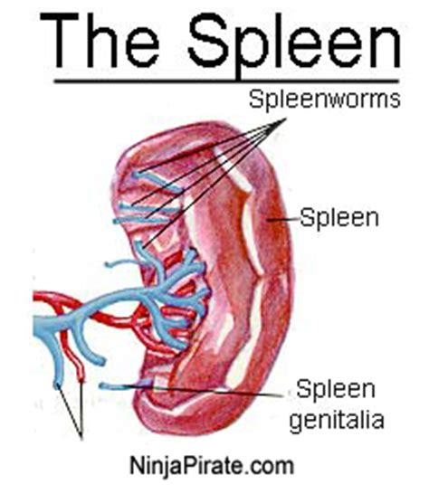 where is your spleen located in your diagram where is your spleen craftbrewswag info