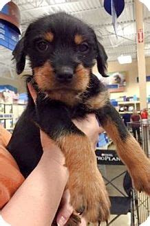 rottweiler schnauzer mix olive branch ms rottweiler schnauzer standard mix meet ross 1 of 6 pups a