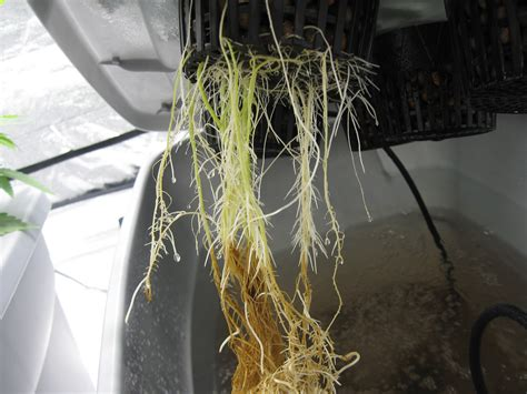roots the most important part of your plant grow easy roots the most important part of your plant grow easy