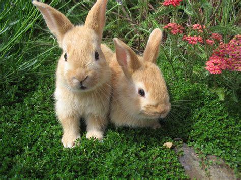 Gantungan Bunny Kopenhagen Bunny 1 rabbits belgian hare rabbit domestic new zealand rabbits
