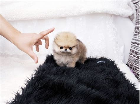 teacup teddy pomeranian puppies for sale quality teddy micro tiny teacup pomeranian puppies for sale animals