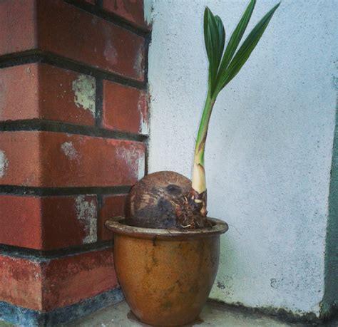 Bibit Bonsai bonsai kelapa gading yang menawan