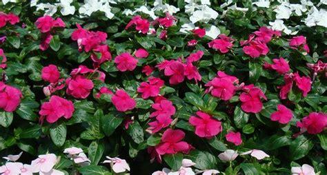 fiori da bordura pieno sole pervinca colore perenni la pervinca e il suo colore