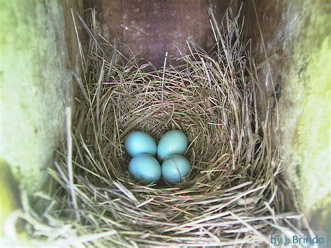 cardinal eggs color exles of nest and eggs how tos