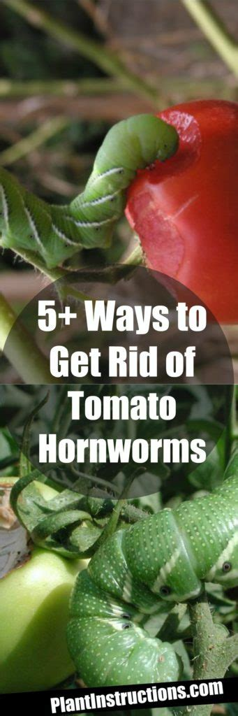 ways   rid  tomato hornworms plant instructions