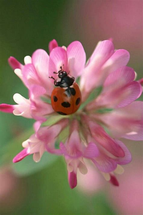 where to find ladybugs in your backyard the 25 best buy ladybugs ideas on pinterest house