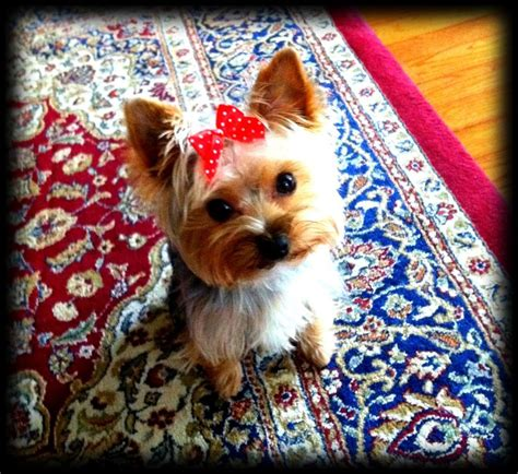8 lb yorkie 17 best images about teacup yorkies on sewn and yorkies
