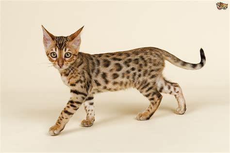 cat and breed the five most expensive cat breeds in the world pets4homes