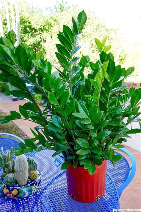 Houseplant For Low Light by Houseplant Alert 3 Reasons You Need The Awesome Zz Plant