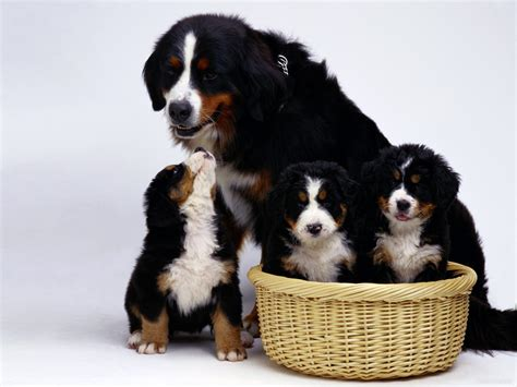 pictures of bernese mountain dogs family bernese mountain on a white background wallpapers and images wallpapers