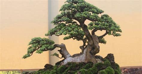 gambar bonsai serut terbaik  termahal centralmayacom