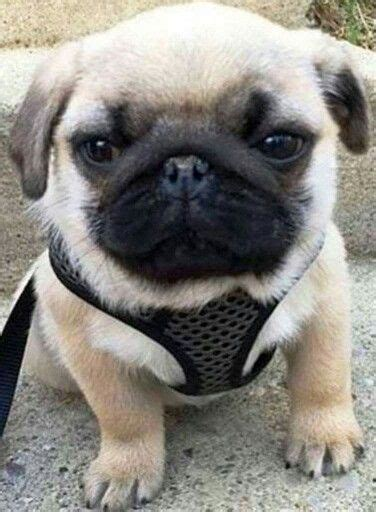 loca the pug died 148 best images about pug on pug pug and fawn pug