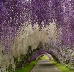 Flower Tunnel by Earth A Wonderful World Wisteria Flower Tunnel In Japan