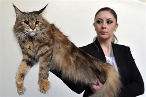 Maine Coon Cat: Pictures, Personality, and How to Care for