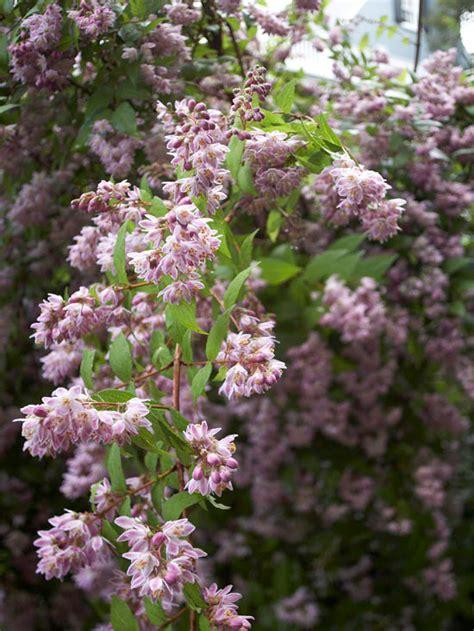 beautiful flowering shrubs most beautiful flowering shrubs nature babamail