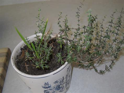 famous  easy herbs  grow indoor  winter