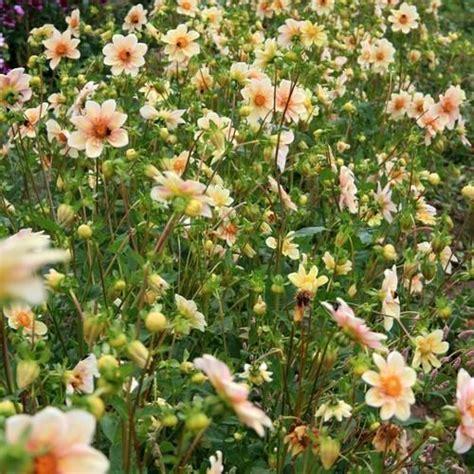 Dahlia Apple photo of the entire plant of collarette dahlia dahlia