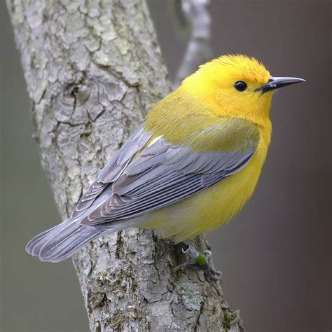 new world warbler wikipedia