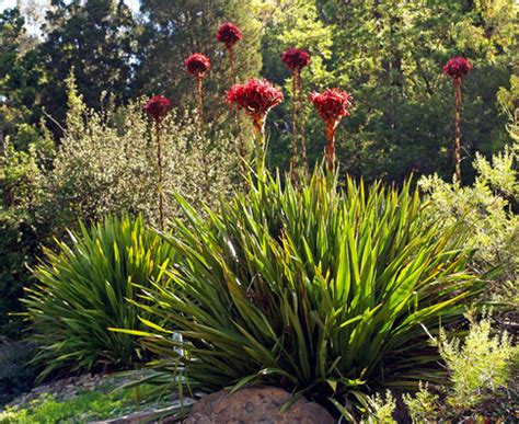 exle winter gardens doryanthes excelsa quot gymea quot buy at s