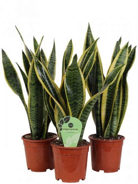 foto piante da interno piante tropicali da interno ed esterno paganopiante