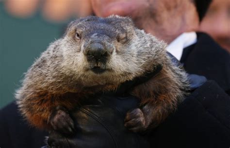 groundhog day update groundhog day 2015 prediction did punxsutawney phil see
