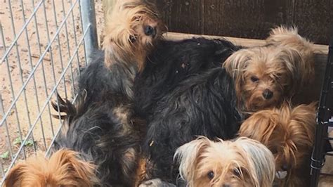 yorkie puppy mill warning about terrier puppy mill khou