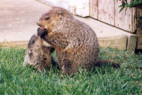 groundhog day quarry phillip woodhog bilder news infos aus dem web