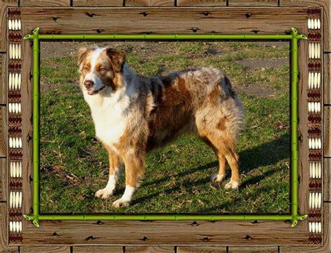 Berger Brown brown lakota aiyana of windjana ridge chien de race toutes