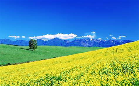 Yellow Landscape Pictures Flowers Yellow Fields Earth Nature Landscapes