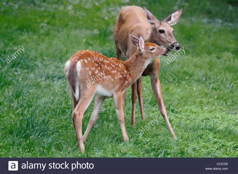 Deer And Doe Deer And Doe Hip Pack Hip Biru white tailed deer and doe fawn standing to