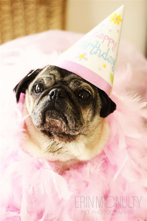 pug birthday pictures pug birthday