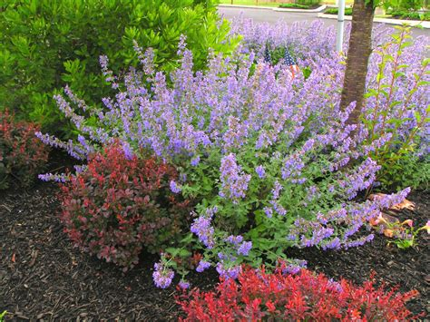 Bloomingflowers by Growing A Better Catmint Delhi
