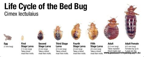 bed bug life span bed bugs pest control sydney