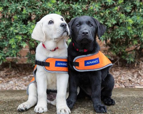 guide puppy raising volunteers needed to lend a helping paw to raise guide puppies cbelltown