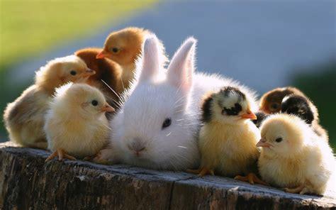 cute rabbits and chicks schattige dieren wallpapers schattige dieren
