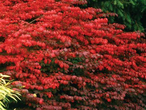 gardening landscaping shrubs for full sun decoration plant job flowering evergreen shrubs
