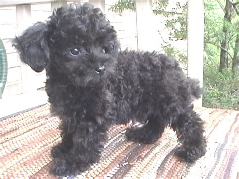 lifespan of teacup poodle average size of teacup poodle dogs in our photo