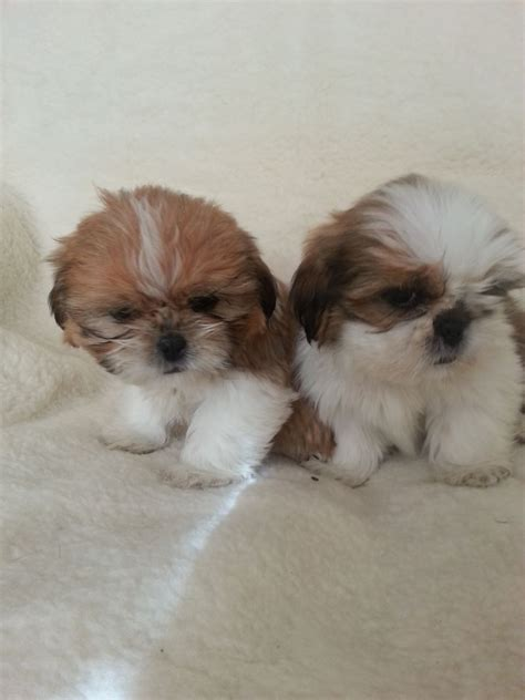 1 month shih tzu puppy shih tzu pup quotes