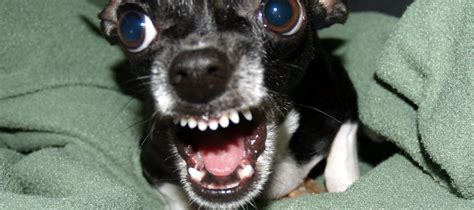 how to your from barking how to stop your chihuahua from barking n treats
