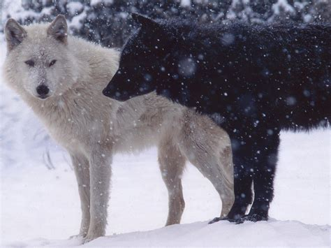 white wolf white wolf and black wolf 1152x864 wallpapers wolf 1152x864 wallpapers pictures free
